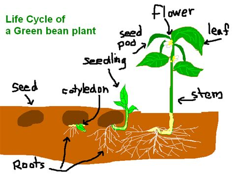 green beans for periods picture 5