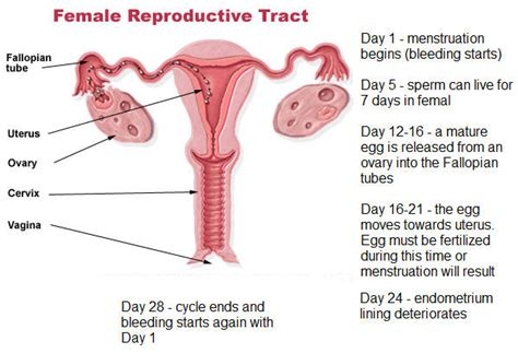 what happens if women take an ovary feminizing picture 11