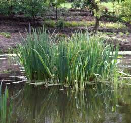 water plantain picture 11