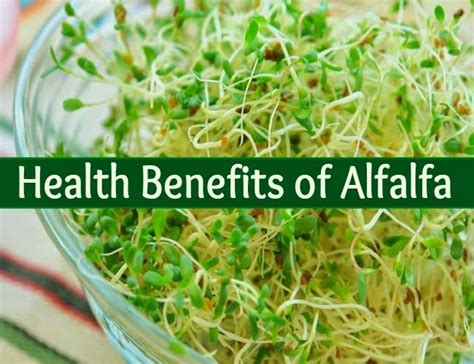 alfalfa leaf health benefit's picture 9