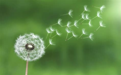 dandelion root boosts testosterone picture 15