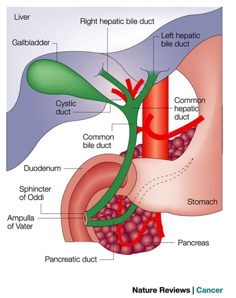 cancer of the gall bladder picture 1