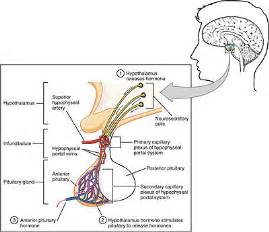 anterior pituitary picture 6