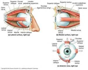 inferior oblique muscle picture 15
