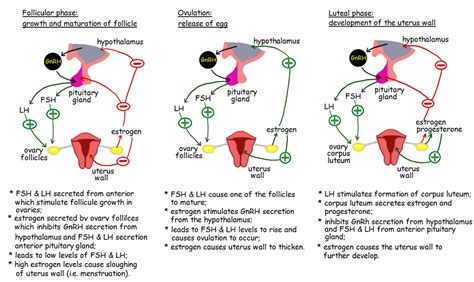 testosterone in menstrual cycle picture 6