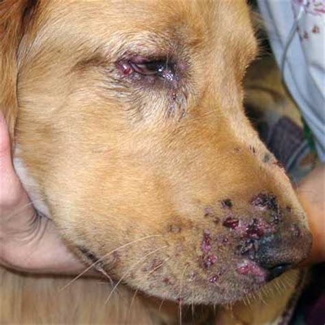 infected skin sores on animals picture 9