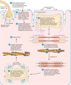 contraction in skeletal muscle tissue picture 11