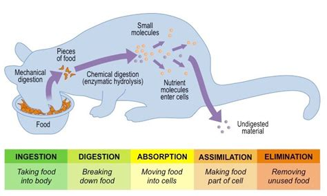 stages in the digestion system picture 7