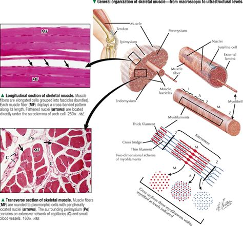 do plants have organized muscle fibers for movement picture 9