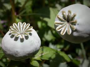 plants with opium like effects picture 2
