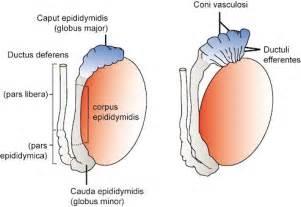Define epidytimis picture 3
