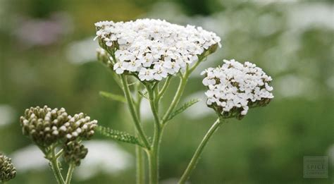 yarrow flower picture 10