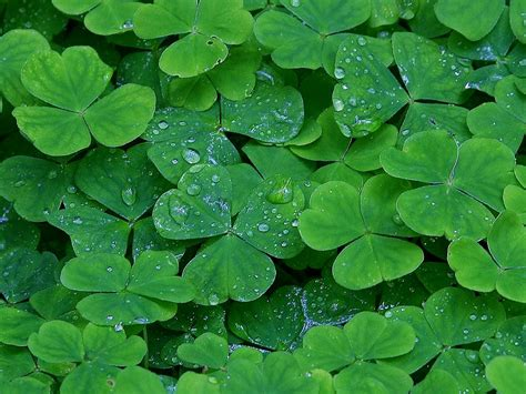 clover picture 2