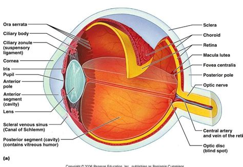 eye muscle control picture 6
