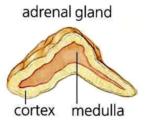 affects of aging on the adrenal cortex picture 14