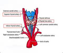 thyroid with own blood supply picture 6