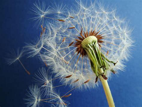 dandelion picture 6