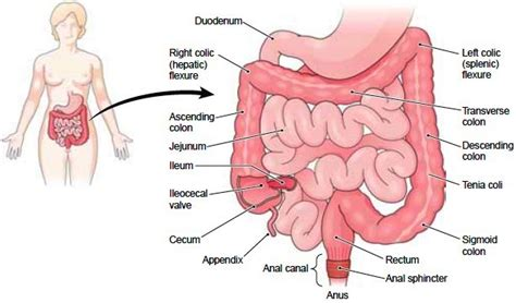 large and small bowel picture 10