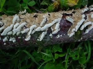 white fungus on wood picture 13