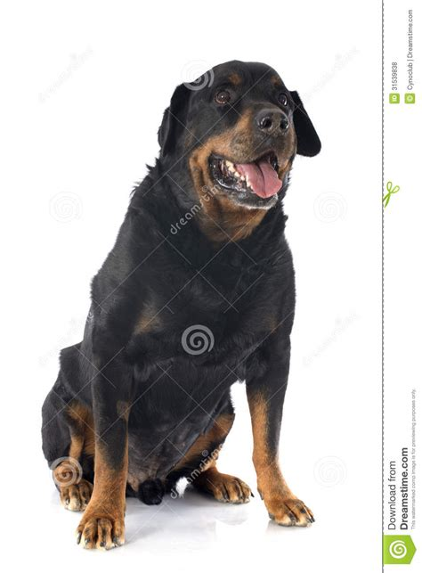 aging rotweiler picture 1