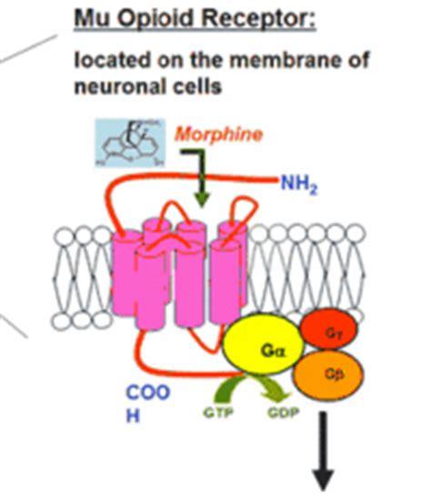 mu opiod receptor herbs picture 5