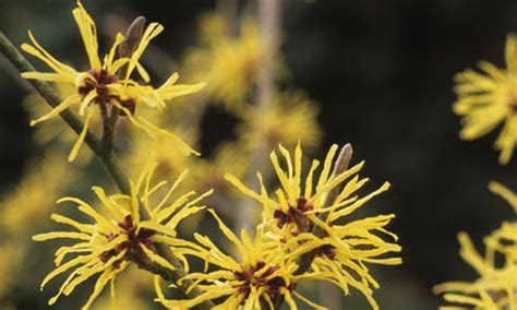 witch hazel for herpes out break picture 5