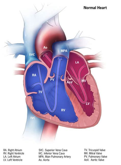 fetal blood and circulation picture 18