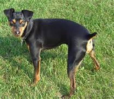 miniature pinscher skin problems picture 10