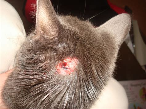 cat skin conditions picture 9