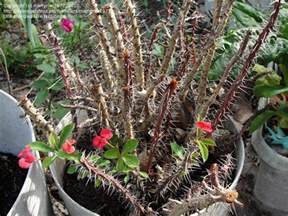 where to buy crown of thorns extract picture 11