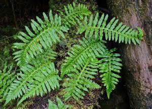 licorice fern picture 3