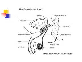 jakol i male reproductive systems picture 6