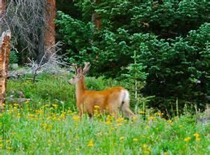 deer root herb picture 1