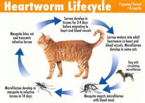 feline skin disease picture 13