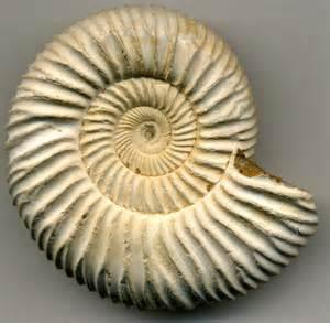 ginkgo ammonite picture 7