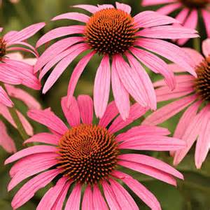echinacea flower picture 9