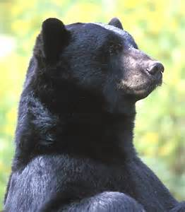 Black bear herbal picture 10