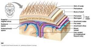 bacterial meningitis penetrates brain blood barrier picture 6