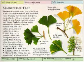 ginkgo biloba tree root system picture 5