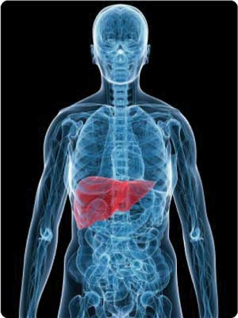 facts about the human liver picture 10