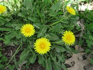 does dandelion leaves foods that help libido picture 10