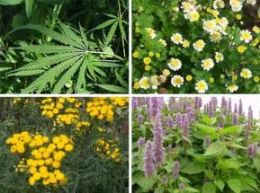online glossary of herbal plants and their uses picture 19