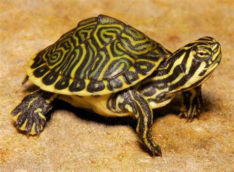 diet of the river cooter turtles picture 7