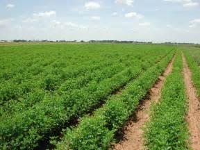 alfalfa fertilizer picture 15