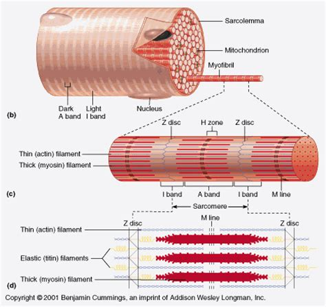 anatomy of skeletal muscle fiber picture 11