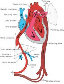 embryonic blood flow picture 3
