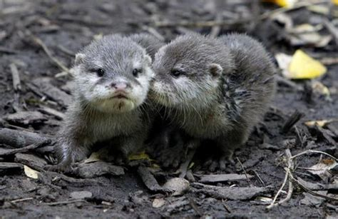 baby river otter diet picture 6