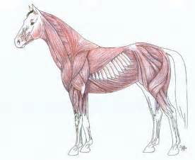 horse muscle system picture 6