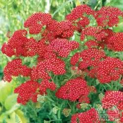red yarrow picture 2