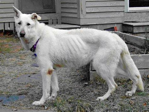 canine epi and liver disease picture 6